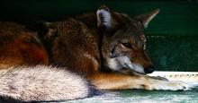 Eagle-coyotes-484-220x115
